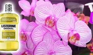 Листерин для орхидей