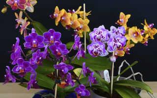 Топ – 6 Мини Орхидей не занимающие много места