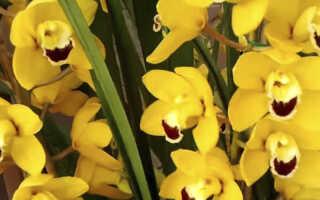 Орхидея Цимбидиум — уход в домашних условиях