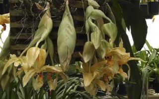Орхидея Стангопея — уход в домашних условиях