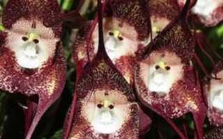 Орхидея «Дракула» с лицом обезьяны
