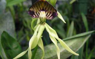 Орхидея Кохлеата Простехея (Cochleata Prosthechea )