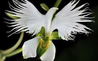 Орхидея Хабенария радиата — необыкновенная Белая цапля