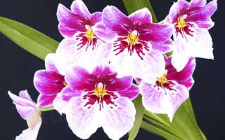 Орхидеи Мильтония, Мильтониопсис — уход в домашних условиях