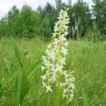 Белый цветок в поле
