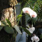 Фаленопсисы на деревьях растут