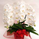 Белые орхидеи в красном горшке