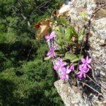 Фиолетовые цветы на скале