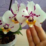 Белая орхидея в крапинку