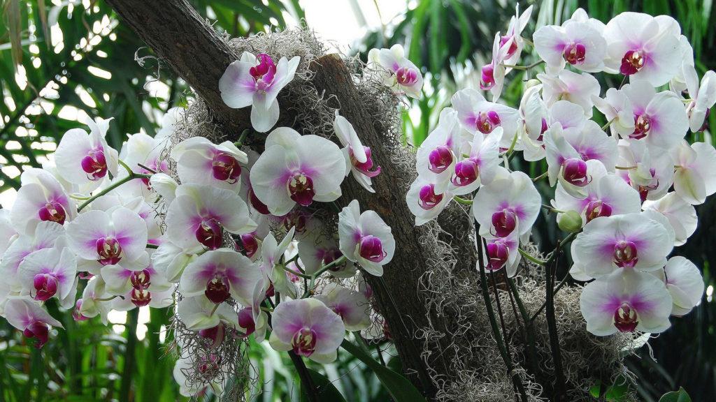 Фаленопсисы на дереве