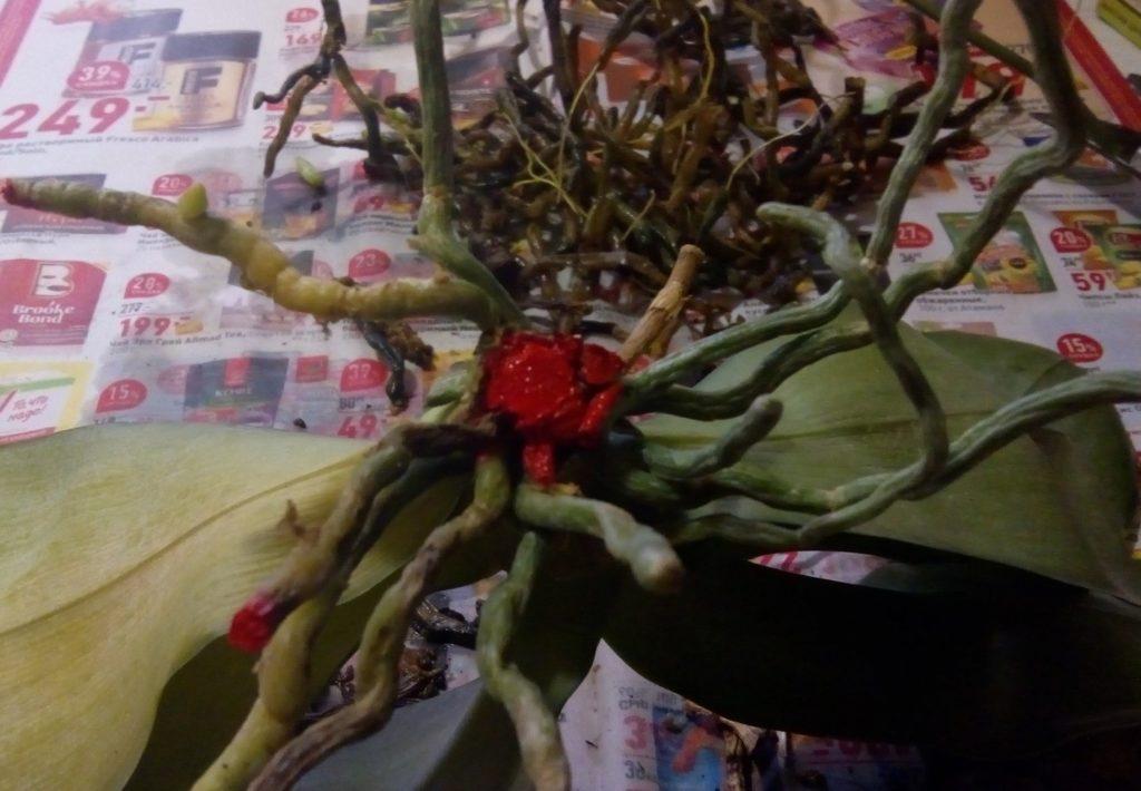 Орхидея со срезом