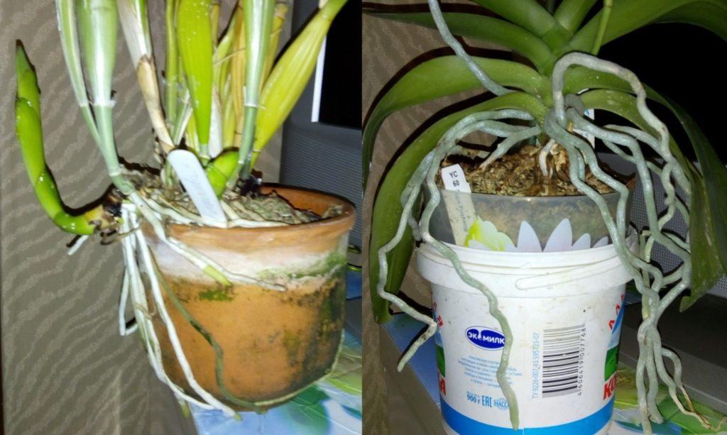 Корни орхидей вылезли из горшка