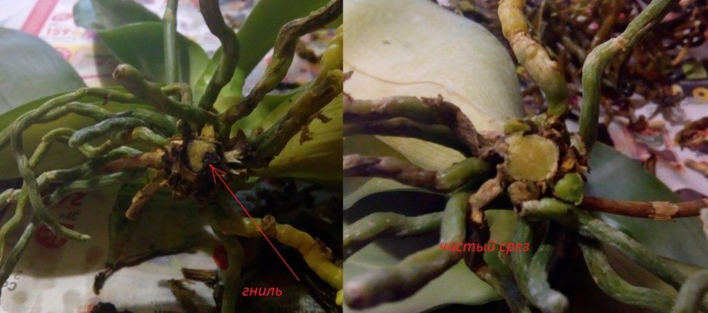 Орхидея при пересадке