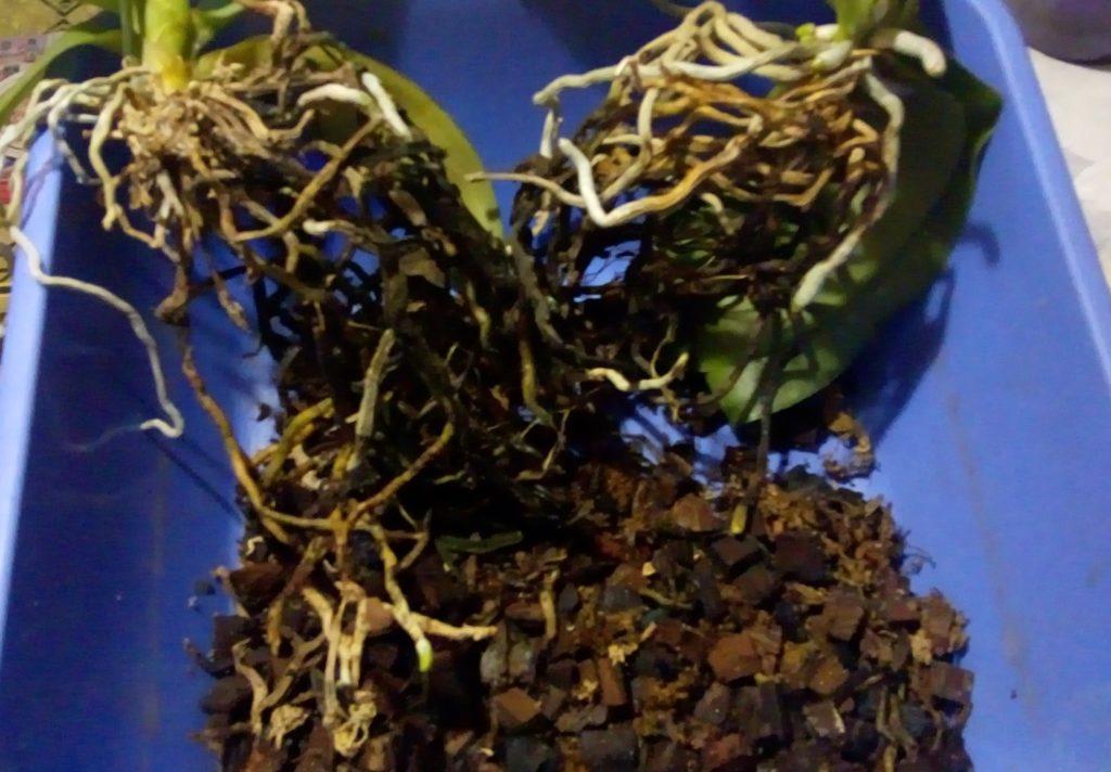 Удаление субстрата с корней орхидей
