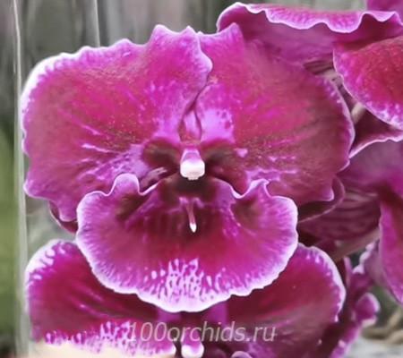 Abba big lip орхидея фаленопсис