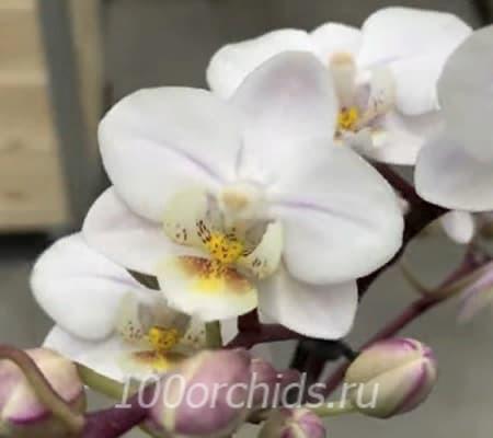 Apple орхидея фаленопсис