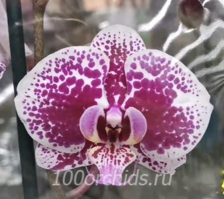 Cultivation орхидея фаленопсис