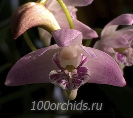 Dendr. kingianum