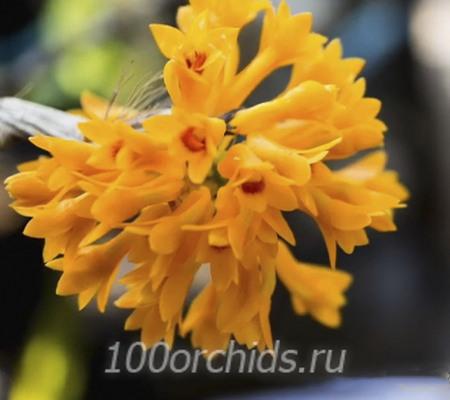 Dendrobium bullenianum