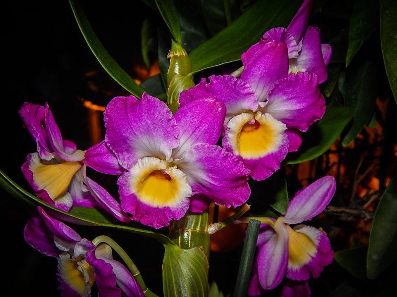 Дендробиум нобиле лиловый