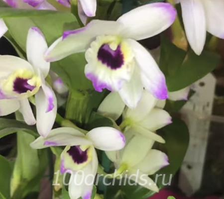 Dendrobium Love Memory 'Fizz'