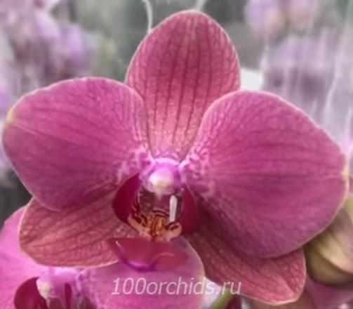 Орхидея фаленопсис Diamond King