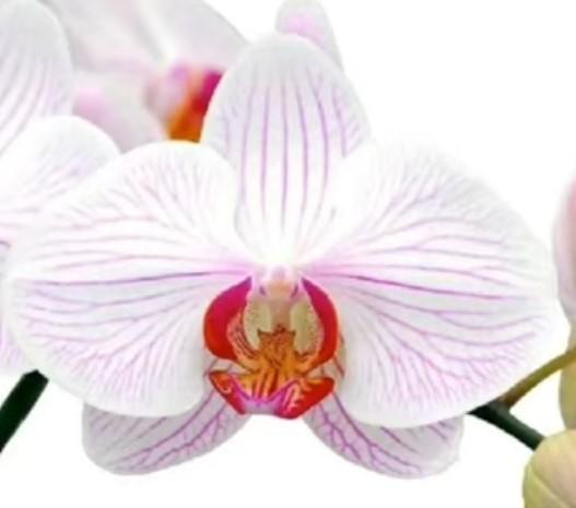 Орхидея фаленопсис Donata