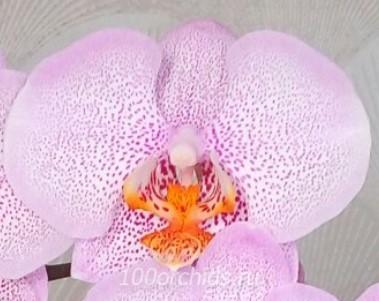 Орхидея фаленопсис Dragon