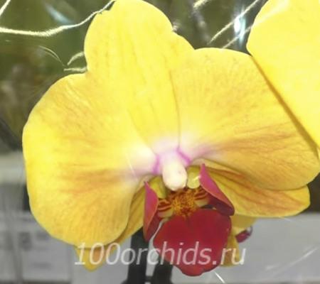 Gaslamp Glow орхидея фаленопсис