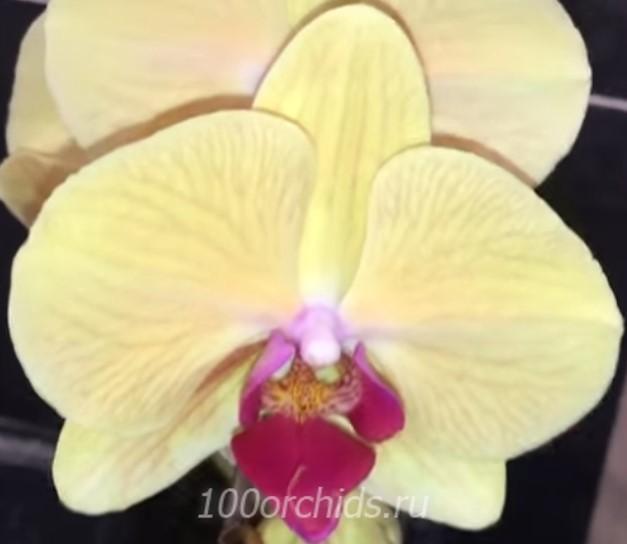 орхидея фаленопсис Golden beauty