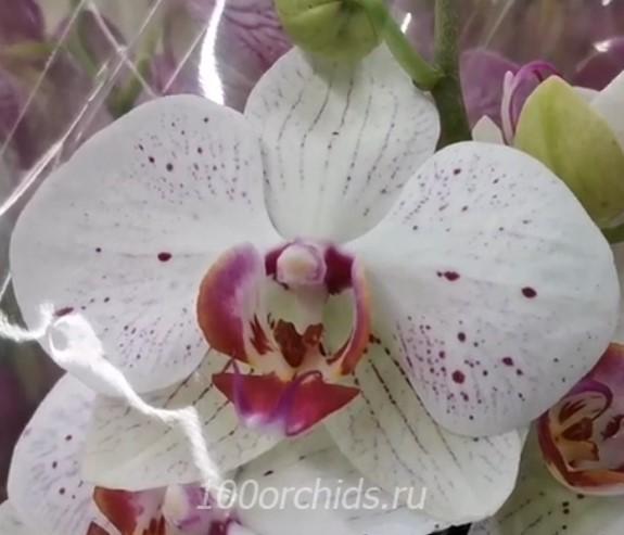 Орхидея фаленопсис Goya