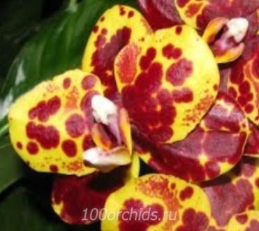Орхидея фаленопсис Green World