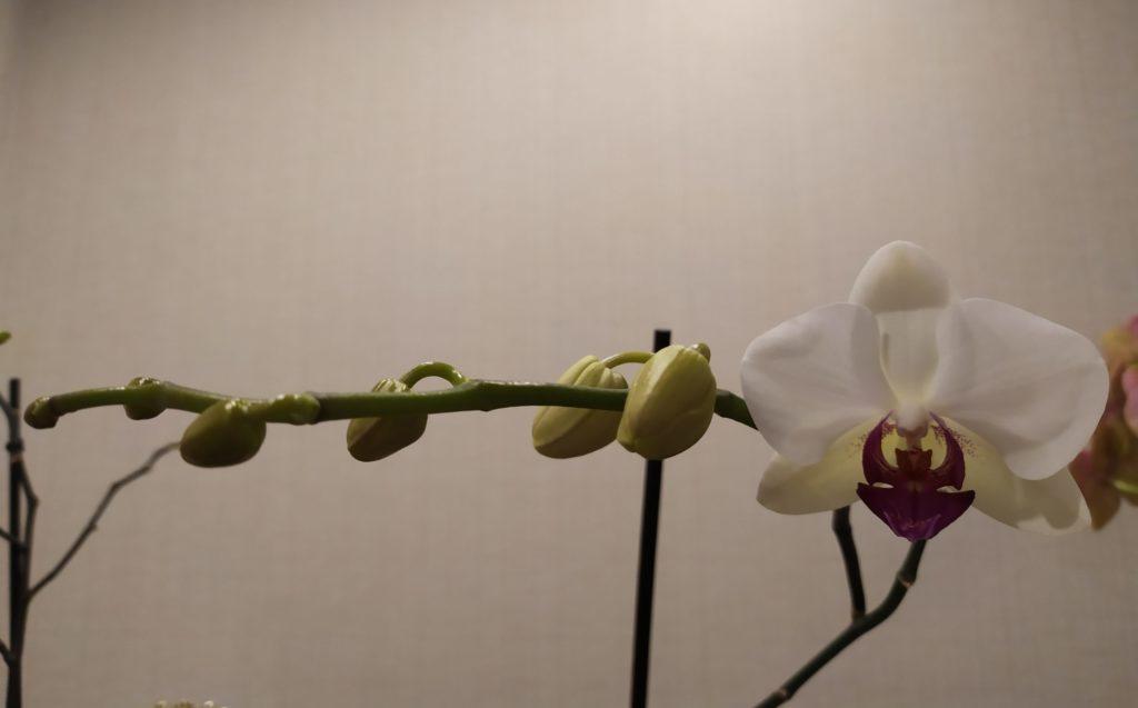 Полив орхидеи во время начала цветения
