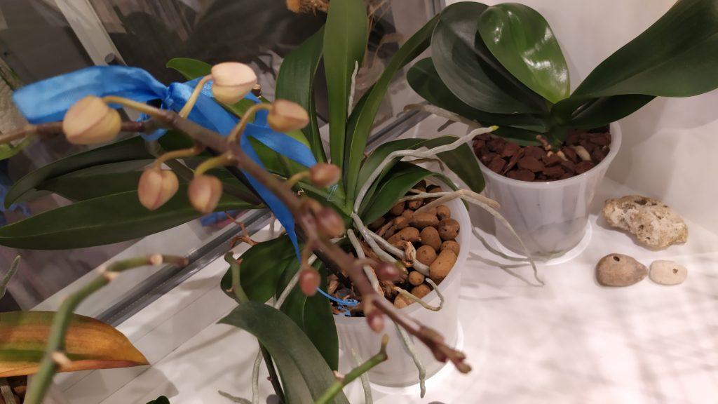 Цветоносы у орхидей
