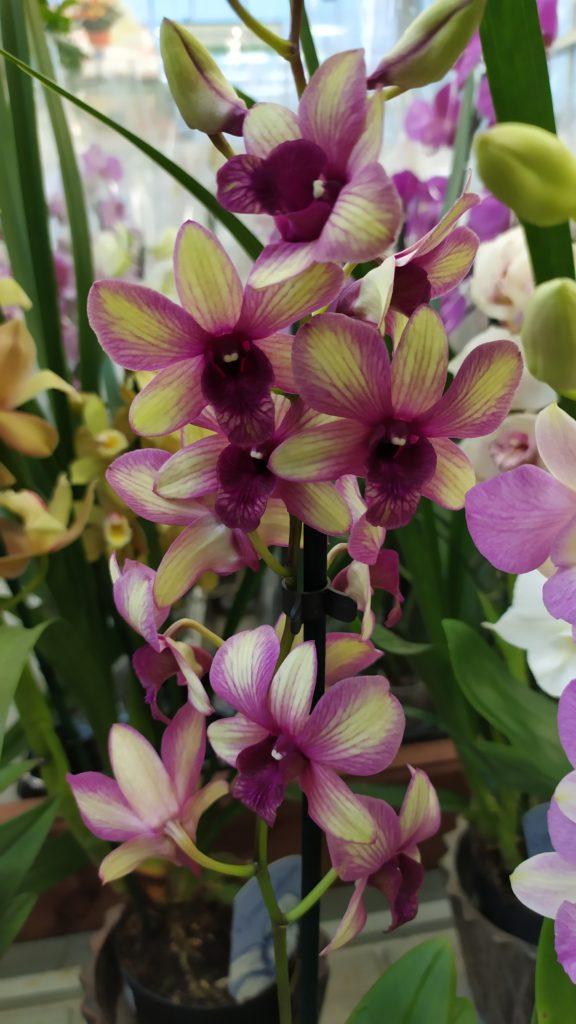 Орхидея необычного окраса
