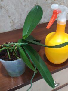 Полив орхидеи во время покоя