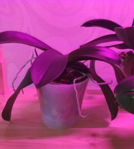 Орхидея в период покоя