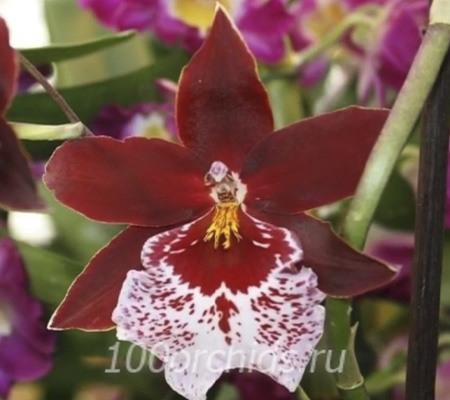 Камбрия4 орхидея