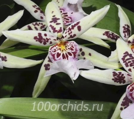 Камбрия5 орхидея