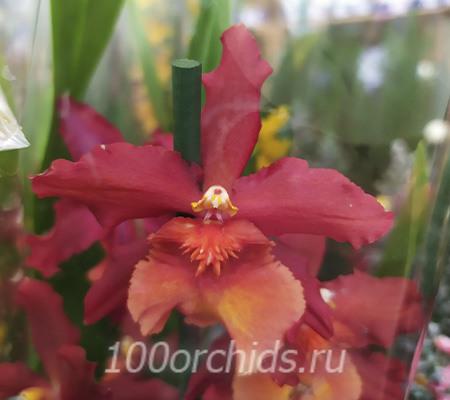 Камбрия8 орхидея