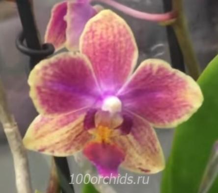 Орхидея фаленопсис Korcula