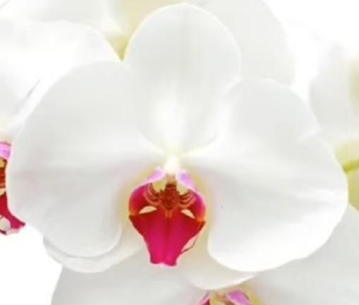 Орхидея фаленопсис Lauretta