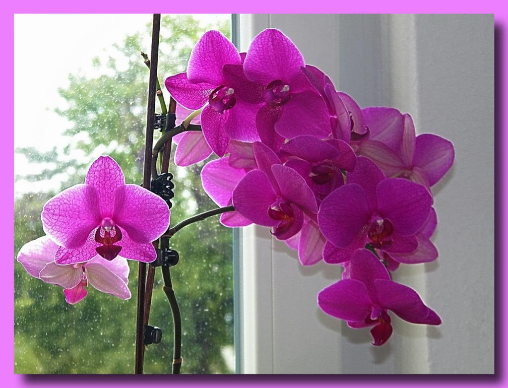 Орхидея лиловая на дневном свете