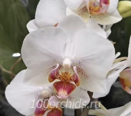 Орхидея фаленопсис Linda