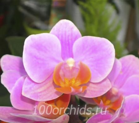 Little Kolibri орхидея фаленопсис