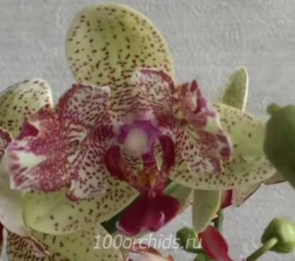 Орхидея фаленопсис Maya