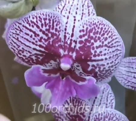 Орхидея фаленопсис Melody Big lip