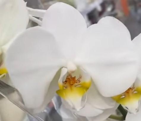 Орхидея фаленопсис Misty Mountain