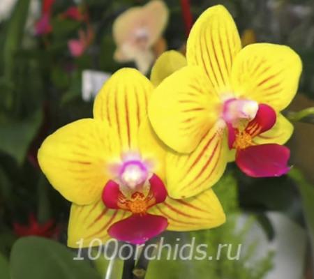 Nano mini орхидея фаленопсис