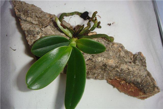 Посадка орхидеи на блок